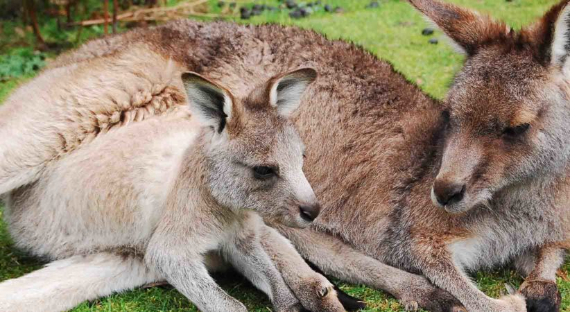 A mother kangaroo with a joey.